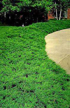 Tam Juniper (Juniperus sabina 'Tamariscifolia') at Connon Nurseries CBV