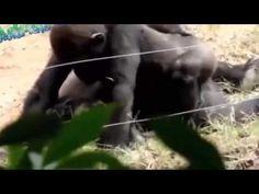 El apareamiento las hembras Gorila Romántica