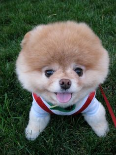 Boo looking so happy boo_Pomeranian_Dog_