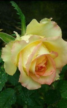 Rosebicolor