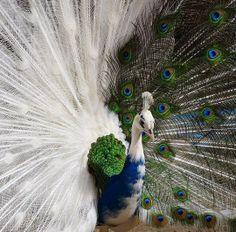 Photographer captures an extremely rare half albino peacock.