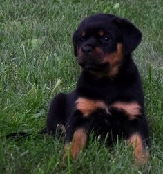 The traits we like about the Confident Rottweiler Dogs Big Dogs, I Love Dogs, German Rottweiler Puppies, German Dog Breeds, Michaela, Therapy Dogs, Service Dogs, Rottweilers, Pets