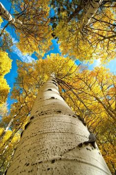 Autumn aspens, Eastern Sierra, CA
