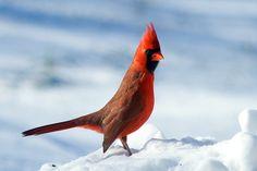 cardinal by eva8*, via Flickr
