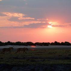 #Sunset on #safari #youlionsstayoverthere #botswana #adventureswithdad