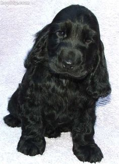 Sweet nose, soft ears, perfect puppy. Cocker Spaniel! Best dogs ever!
