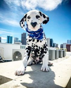 Wiley is the name of a Dalmatian dog who wears his heart on his sleeve, well, to be honest, he wears it on his nose. This, now one-year-old pup rose to massive internet fame due to his special heart-shaped marking that is placed right on his face. The Animals, Cute Baby Animals, Funny Animals, Cutest Animals, Photo Animaliere, Dalmatian Dogs, Cute Dogs And Puppies, Doggies, Dog Cat