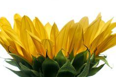 Sunflower #yellow #flowers #nature #botanical #macrophotography #studio