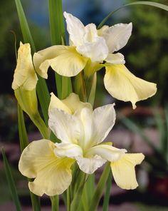 Butter & Zucchero Siberian Iris - Monrovia - Burro & Sugar Siberian Iris