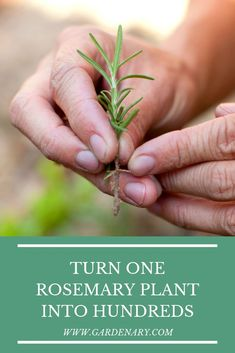How to turn one rosemary plant into hundreds. Learn two different methods for propagating rosemary plants to grow enough rosemary to last years, and learn the best method for success in growing rosemary. Diy Herb Garden, Herb Garden Design, Home Vegetable Garden, Edible Garden, Garden Plants, Shade Garden, House Plants, Rosemary Plant Care, Rosemary Herb