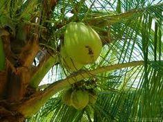 Noce di cocco: il miracoloso frutto dell'albero della vita