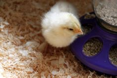 From chicks to adult hens,learn about proper nutriton to keep your chickens health, optimize egg production and curtail bad habits such a feather picking.