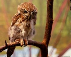 Pearl Spotted Owlet By Gregg Obst