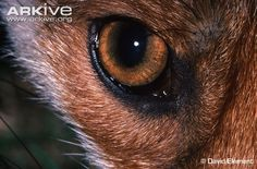Looking for Red fox photos? View all of Arkive's Red fox photos - Vulpes vulpes Red Fox Pictures, Fox Eyes, Eye Close Up, White Cats, Sculpting, Knight, Fine Art, Animals, Facial Expressions