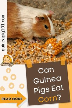 Guinea pigs can eat corn but only in moderation. Now that you know that guinea pigs can eat corn, you might be wondering if it can harm our guinea pigs. Also, how much corn can you feed to your guinea pigs? Don't worry, and we have got you all covered. So, let's get right into it. #guineapig101 #guineapigcare #guineapigguides #guineapigs #smallpets Guinea Pig Food, Pet Guinea Pigs, Guinea Pig Care, Guinea Pig Information, Guinnea Pig, Pig Facts, Pigs Eating, All About Animals, Love Pet