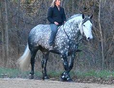 DraftsForSale.com: Draft Cross Horse For Sale - Lotta