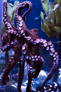Giant Pacific Octopus, Aquarium of the Bay, San Francisco, California - Trend Tattoo Ocean 2019 Underwater Creatures, Underwater Life, Ocean Creatures, Underwater Pictures, Beautiful Sea Creatures, Animals Beautiful, Giant Pacific Octopus, Life Under The Sea, Octopus Art