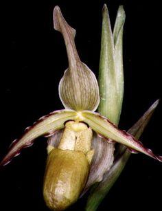 Phragmipedium roezlii
