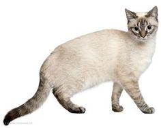 Cat Burmilla