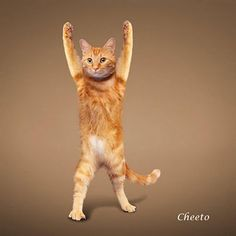 Ginger cat practices his #Yogaposes