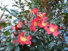 Christmas Camellia (Yuletide Camellia) - Camellia sasanqua to get some evergreen height at the front corner, behind the blue hosta.