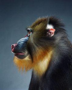 I've always loved Jill Greenberg's Monkey Portraits.    http://www.jillgreenberg.com/Fine-art/photos/monkeys-apes#/