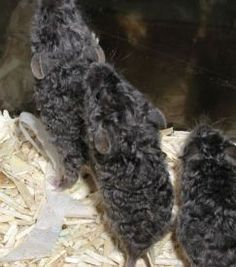 Fancy Mice -aww they look like mini poodles ^_^