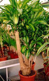 Удивительные свойства комнатных растений