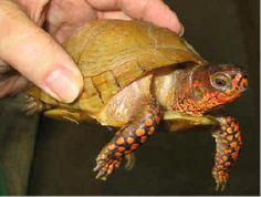 How to care for your Three-toed box turtle, Terrapene carolina triunguis, with pictires