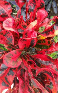 Crunchy leaves on a Florida Landscaping, Tropical Landscaping, Landscaping Tips, Garden Landscaping, Tropical Garden Design, Tropical Plants, Tropical Flowers, Red Plants, Foliage Plants