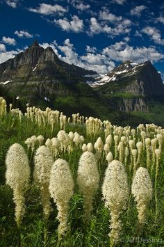 Bear grass (Xerophyllum tenax) with Mt. Oberlin and Clements Mtn, Glacier Nat'l Park, Montana - Photo, Jeff Jessing
