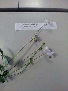 Anenome x hybrida 'Honorine Jobert'