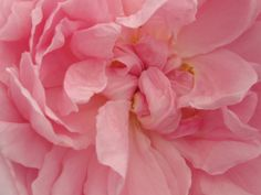 Pink climbing Cinderella -trouble free and sooooooo lovely! October bouquet | The Garden Times