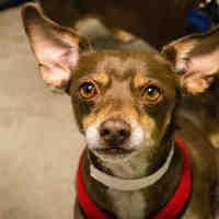 Phoenix, Arizona - Chihuahua. Meet NIKKO, a for adoption. https://www.adoptapet.com/pet/20096286-phoenix-arizona-chihuahua-mix