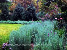 Lavender, Nepeta and Serbian Spruce combo in September