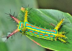 Wattle Cup caterpillar – Calcarifera ordinata. We often find this caterpillar on Acacia wattle leaves. The caterpillar is bright yellow with blue green and orange colours. There are a number of tubercles around its body. The adult moth is creamy brown in colour with lines of dots on forewings.