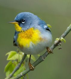 Northern Parula Warbler a small song bird that breeds in North America from Canada to Florida Polo Sul, Polo Norte, Beautiful Creatures, Animals Beautiful, Cute Animals, Cute Birds, Pretty Birds, Exotic Birds, Colorful Birds