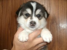 I will own a pomsky one day :)