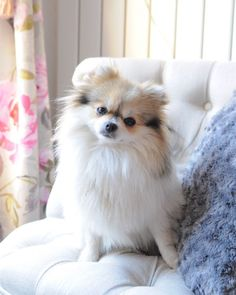 Classy as ever! @yummypets #Lollypom #germanspitz