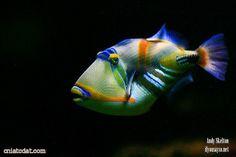 Picasso Trigger Fish