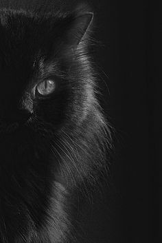 Black,shinny,and beautiful.I do not know why people are superstitious about black cat's it is all garbage,nothing to it,just love them they can not help what color they were born,with.()()