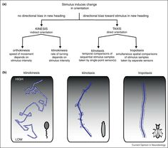 Orthokinesis, klinokinesis, klinotaxis & tropo- taxis.