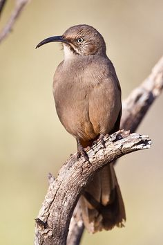 The Crissal Thrasher (Toxostoma crissale) is a large thrasher found in the Southwestern United States (western Texas, southern New Mexico, southern Arizona, southeastern California, extreme southern Nevada, and extreme southwestern Utah) to central Mexico.
