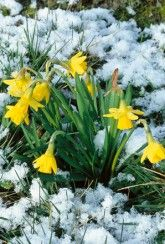 Narcissus Tete-a-Tete - Daffodil Bulbs Narcissus Bulbs, Narcissus Flower, Daffodil Bulbs, Bulb Flowers, Daffodils, Spring Garden, Seeds, Cottage, Gardening