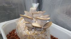 Picture of How To Grow Oyster Mushrooms From Store Bought Mushrooms