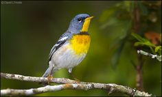 Mystery of the Missing Migrants - Northern Parula Warbler #29