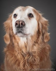 Keeper, the 15-year-old Golden Retriever