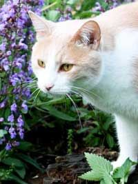 plants that cats like: catnip, valerian, cat thyme, lemongrass, and cat grass. Plants That Repel Cats, Cat Plants, Pretty Cats, Beautiful Cats, Cat Garden, Dream Garden, Herb Garden, Cat Grass, Cat Enclosure