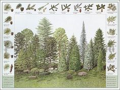 """Northeastern Native Conifers and Pinecones ID Poster. Printed in USA on quality recycled, process chlorine-free paper. 24"""" x 18""""  Laminated Posters are available. Find at: http://pineconesandpodz.com/NEconeposter.html"""