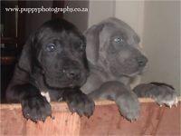 Gumtree Registered Great Dane Puppies German Bloodline Dog S